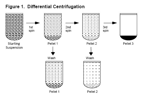Figure of Differential Centrifugation